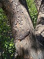 (MAD) A. unedo -bark-1.jpg