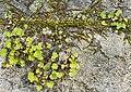 (MHNT) Cymbalaria muralis - Habitus.jpg