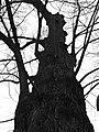 Římov, památný strom.jpg