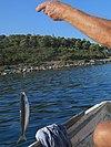 Šolta Nečujam Hrvatska fishing 2012 b.jpg