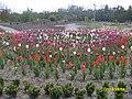 Білоцерківський район, Олександрія, цвітіння тюльпанів.jpg