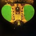Голова мухи (вид сверху).jpg