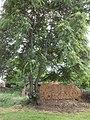 Дувар и дърво.jpg
