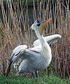 Кудрявый пеликан во время гнездования.jpg