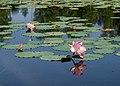 Лотосы на озере в с. Ивановка.jpg