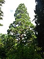 Нікітський ботанічний сад135(секвойя).JPG