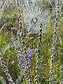 Павутиння –видоспецифічне. Колесоподібна сітка павука-хрестовика (Araneus diadematus), Сумська область, околиці. с.Калинівка.jpg