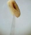 Пиляк тичинки.tif