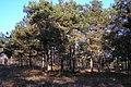 Сосны в р-не консервного завода - panoramio.jpg