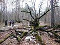 Упал дуб. - panoramio.jpg