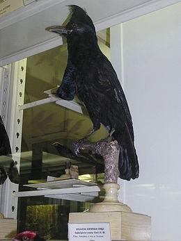 Хохлатая зонтичная птица
