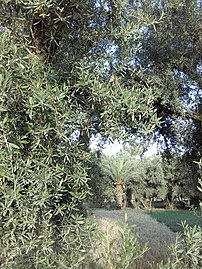 صورة من المغرب واحة كلميمة بالراشيدية شجر من نوع زيتون و نخيل.jpg