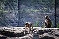 مجموعه عکس از رفتار میمون ها در باغ وحش تفلیس- گرجستان 14.jpg
