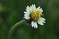 வெட்டுக்காயப் பூண்டு பூ - Tridax daisy flower - Tridax procumbens.jpg