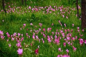 Curcuma alismatifolia - A field of wild Siam tulips in Pa Hin Ngam National Park, Thailand