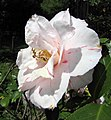 山茶花-半重瓣 Camellia japonica Semi-double Form -日本京都植物園 Kyoto Botanical Garden, Japan- (9227099275).jpg