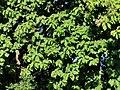 柚木 Tectona grandis 20210907093544 03.jpg