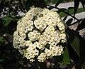 柳枝擬皺葉莢迷 Viburnum x rhytidophylloides 'Willowwood' -上海辰山植物園 Shanghai Chenshan Botanical Garden- (17287846472).jpg
