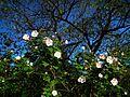植物園山芙蓉 Hibiscus in Botanical Garden - panoramio.jpg