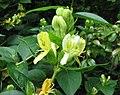 波葉忍冬 Lonicera vesicaria -比利時 Ghent University Botanical Garden, Belgium- (9213325373).jpg