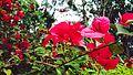 福州金鸡山花卉-红三角梅2.jpg