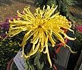 菊花-草庵橙露 Chrysanthemum morifolium -中山小欖菊花會 Xiaolan Chrysanthemum Show, China- (12064913243).jpg