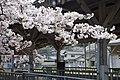 近鉄吉野線・JR和歌山線 吉野口駅にて Cherry blossoms at Yoshinoguchi sta. 2014.3.31 - panoramio.jpg