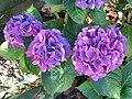 -2019-08-23 Blue hydrangea (Hydrangea macrophylla), Trimingham.JPG