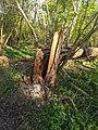 -2021-04-22 Fallen tree, Bourne, Lincolnshire (1).jpg