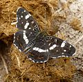 .Map Butterfly. Araschnia levana. Female - Flickr - gailhampshire.jpg