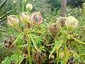 01762 - Hibiscus cannabinus (Eibisch).JPG