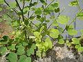 02242jfBauhinia purpurea flowers Bulacanfvf 17.jpg