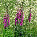 04913 Digitalis purpurea nevit.jpg
