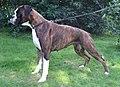 1. Brindle boxer dog, female.jpg