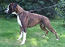1. Brindle boxer dog, female.jpg