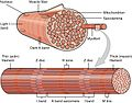 1002 Organization of Muscle Fiber.jpg