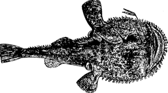 Lophius piscatorius - Lophius piscatorius