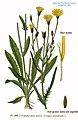 196 Crepis tectorum L.jpg