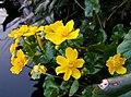 2007-03-27Caltha palustris01.jpg