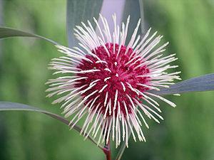 Flower of Hakea laurina (Pincushion Hakea) in Bonbeach, Victoria, Australia