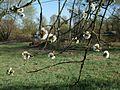 20120401Streuobstwiese Altlussheim09.jpg