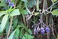 20120812Solanum dulcamara2.jpg