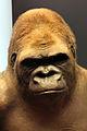 2013-03 Taxidermie Gorilla Bobby Naturkundemuseum anagoria.JPG