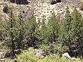2013-06-28 12 57 17 Grove of Rocky Mountain Juniper along the banks of the Jarbidge River north of Jarbidge, Nevada.jpg