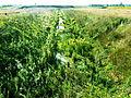 20130505 Grensmaasproject at Itteren 21 Ditch with vegetation.JPG