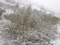 2014-06-17 09 21 14 Snow in June on Willows with new foliage along the upper portion of Lamoille Canyon Road in Lamoille Canyon, Nevada.jpg