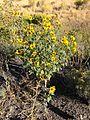 2014-09-08 08 43 58 Sunflowers along Interstate 80 near milepost 275 in Eureka County, Nevada.JPG