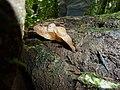 2014-09-18 Auricularia delicata group 461598.jpg