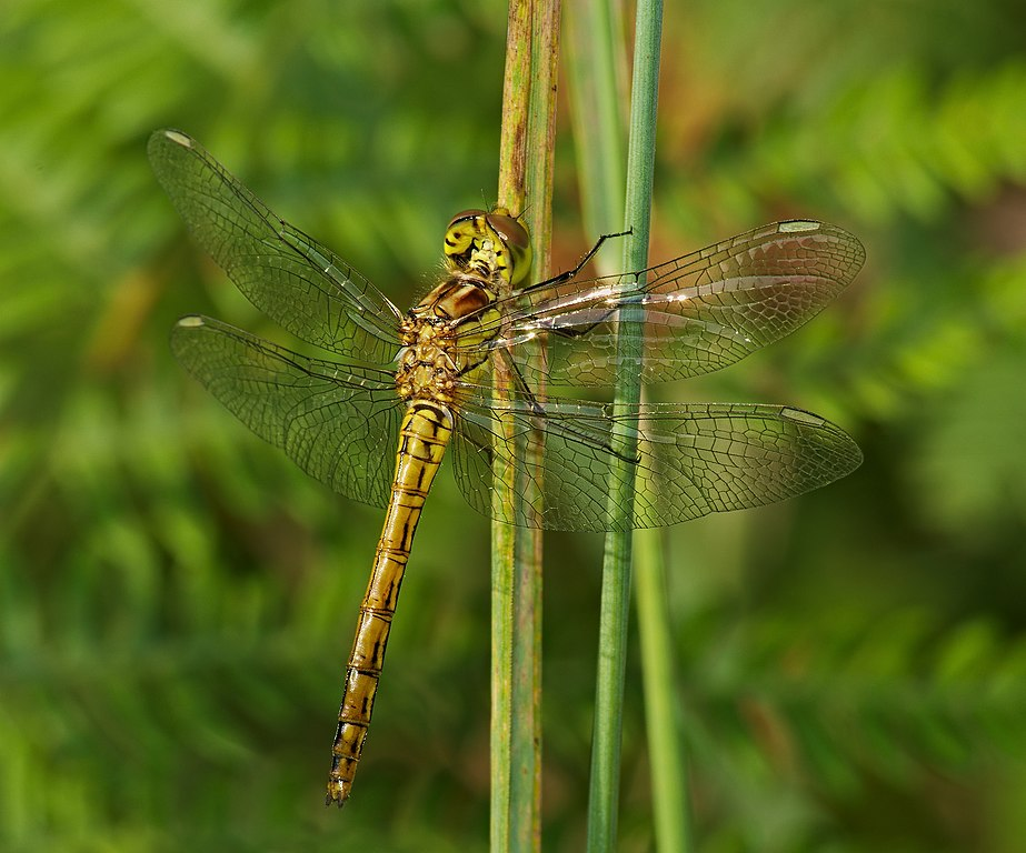 Vážka obyčajná (lat. Sympetrum vulgatum) - samička