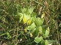 20140618Rhinanthus alectorolophus2.jpg